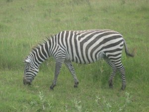 Here is a picture of a zebra I took in 2007 on safari.