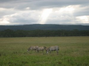 More zebra on 2007 safari